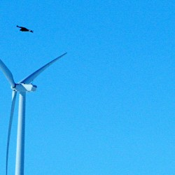 A golden eagle flies near  a wind turbine in Converse County, Wyo., in this 2013 photo. Golden and bald eagles are not endangered species but are protected under the Bald and Golden Eagle Protection Act and the Migratory Bird Treaty Act. The Associated Press