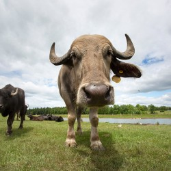 Brian Farrar says the animals are more friendly and more curious than other cattle.