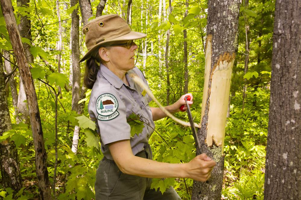 Colleen Teerling, an entomologist with the Maine Forest Service's Insect and Disease Lab, strips the bark from an ash tree at Lake St. George State Park in Liberty to investigate whether the destructive emerald ash borer has reached Maine.
