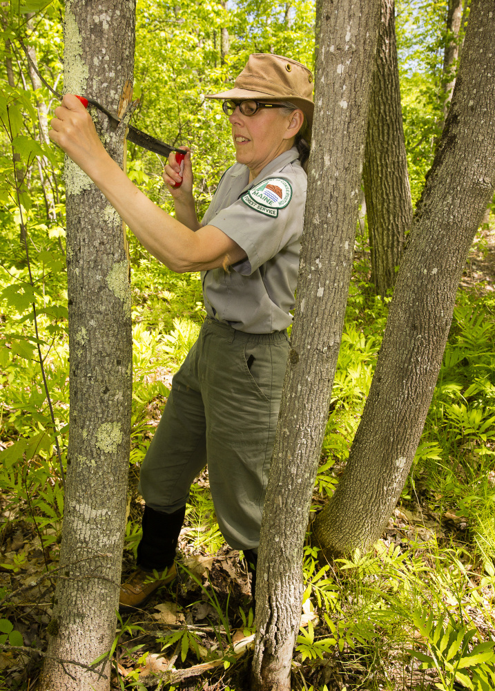 Colleen Teerling strips the bark from an ash tree at Lake St. George State Park in Liberty. The section of tree will be examined to see if the insect is in Maine.