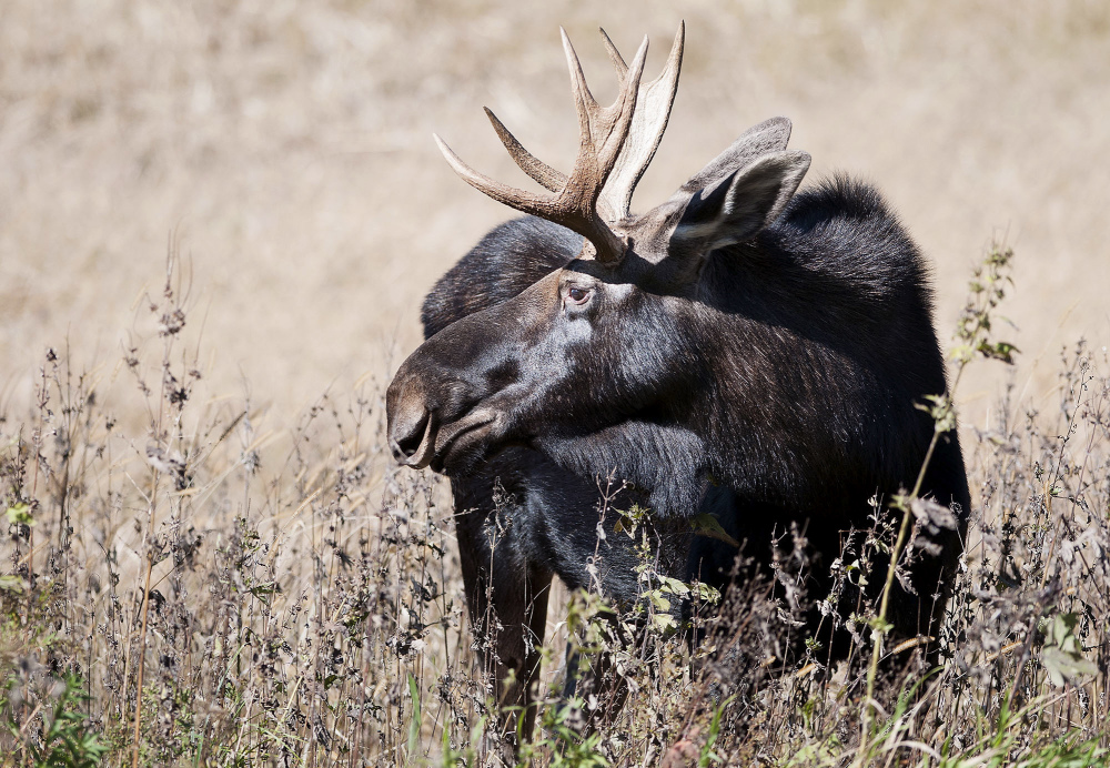 The U.S. Fish and Wildlife Service will investigate whether moose in four Midwestern states should be protected under the Endangered Species Act.