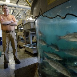 BOOTHBAY HARBOR, ME - JUNE 7: Kevin Kelly of the Maine Department of Marine Resources in the wet lab Tuesday, June 7, 2016. To the right are striped bass.(Photo by Shawn Patrick Ouellette/Staff Photographer)