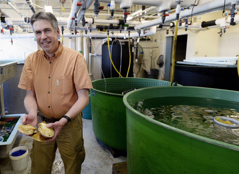 Kevin Kelly, who surveys scallop populations, works at the Maine Department of Marine Resources in Boothbay Harbor. Kelly says Maine scallops are known for their freshness and flavor.