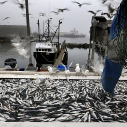A fishing boat unloads its herring catch in Rockland last year. Herring yields have been impressive in recent years, but federal regulators are pondering a slight reduction from 2015's 108,000 metric tons to slightly less than 105,000.