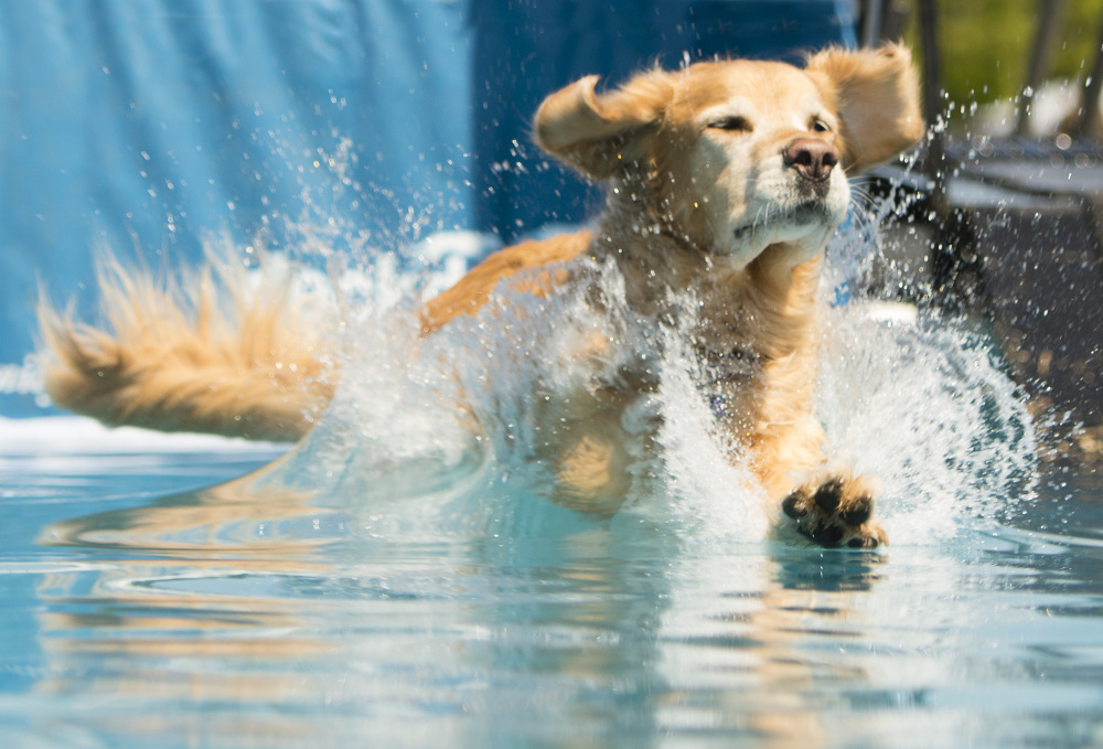 Golden retriever Dozer, teammate of Mike Kleiner of Farmington, N.H., lands in the pool during the Big Air Distance event of the Dock Dogs jumping competition in Scarborough on Sunday A rescue dog, the golden retriever jumped 10 feet.