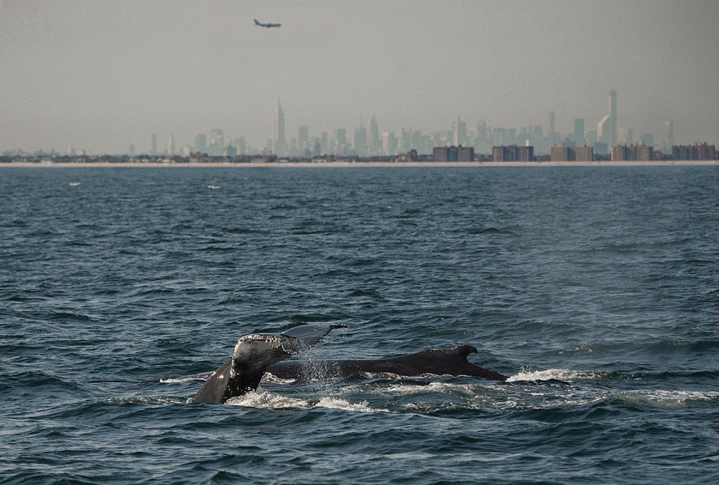 In this 2014 photo, two humpback whales dive inside what is called the New York Bight, with the New York City skyline in the background. Scientists have deployed a high-tech acoustic buoy in the Bight 22 miles off the coast of New York's Fire Island to monitor several species of great whales.
