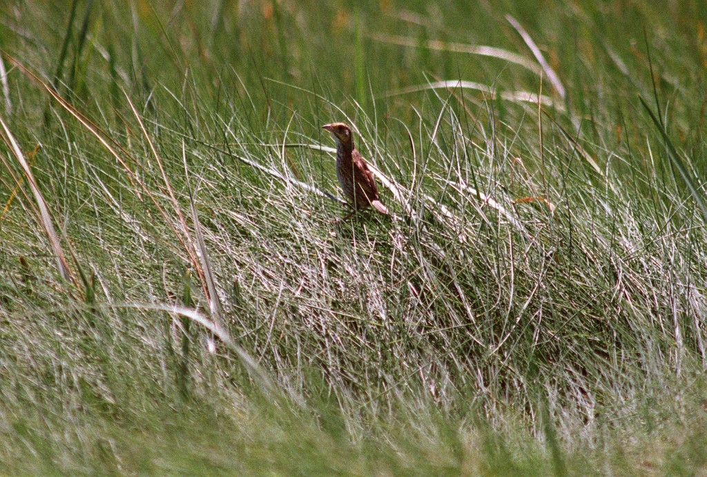A saltmarsh sparrow sits in the grasses of Scarborough Marsh.