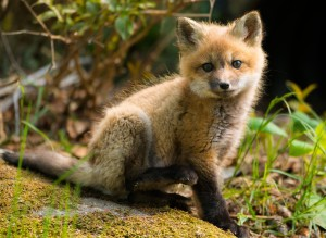 Fox kit near Seal Harbor, Mount Desert Island.