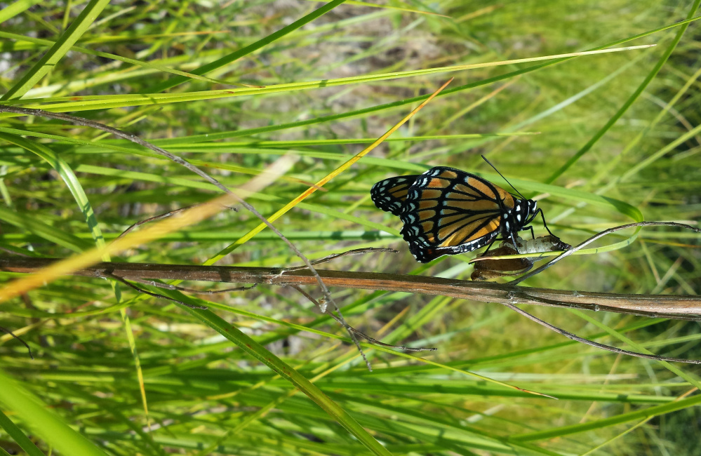 Lee Ohmart of Brewer discovered signs of life along some abandoned railroad tracks in town: a newly emerged viceroy butterfly clinging to its chrysalis.