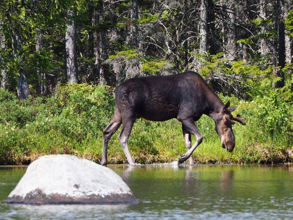 Nate Cutting recently spotted this moose dipping its toes in Sandy Stream Pond in Baxter State Park.