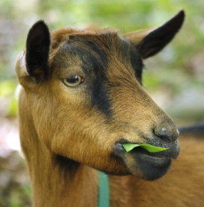 Ray, one of the seven Scapegoats, nibbles on a leaf while working in Kittery. The animals love attention from their host families, but they also bleat and run after their owner's truck when she leaves them at a site.