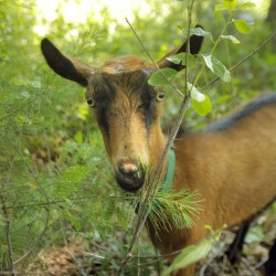 Ray, youngest member of a herd of seven goats belonging to Heather Lombard of Kennebunk, eats pine needles while on the job at a residence in Kittery last week.