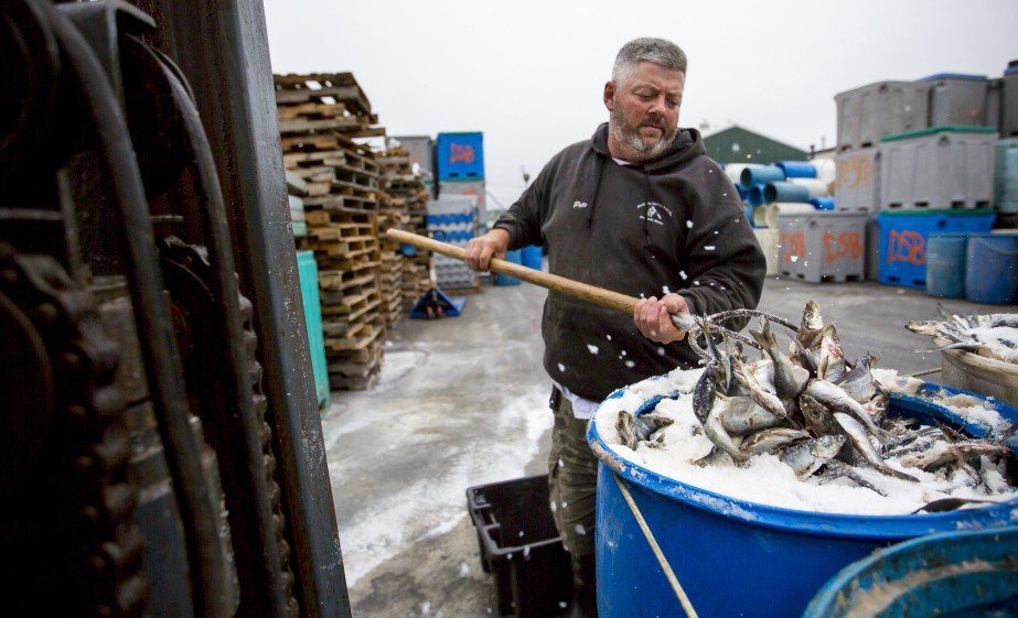 Pete Brichetto, a yard worker at Dropping Springs Bait Co. in Portland, turns herring in a barrel Thursday. Department of Marine Resources regulators are adjusting catch limits to create greater flexibility for fishermen as a lobster bait shortage looms.