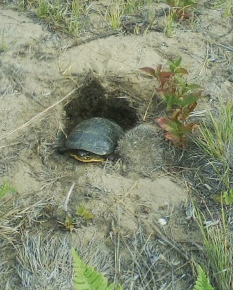 Martha Huestis of Kennebunkport spotted three turtles near a pond in Kennebunk, including this one that was laying eggs.