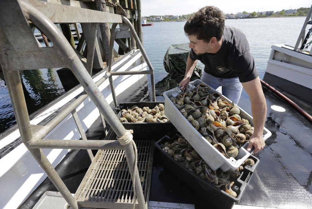 Fisherman Carl Berg unloads containers of whelks from a fishing vessel in Little Compton, R.I., on May 23. The sea snails are known by Italian-Americans as scungilli.
