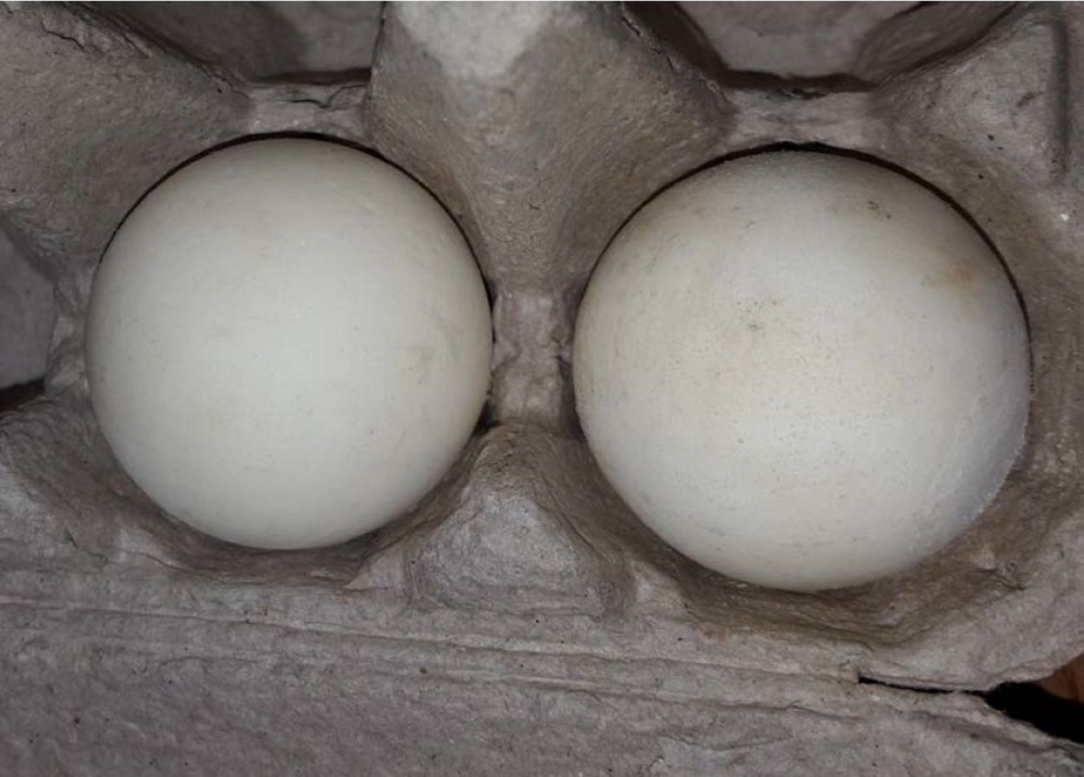Almost identical to a real turtle egg, the one on the left has a GPS location tracker that could lead investigators to poaching rings on tropical and semi-tropical shores.