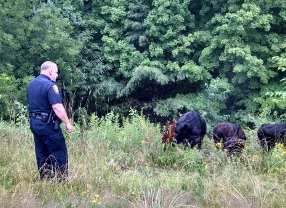 Augusta police Officer Brett Lowell found himself handling three head of cattle that escaped their enclosure and wandered onto Interstate 95 Sunday morning. Police herded the cattle to a safer area, where their owners picked them up.