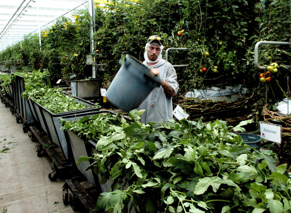 Backyard Farms employee Josh Cunningham empties tomato leaves that are trimmed off plants daily into carts at the Madison company. The unwanted growth will be processed and reduced into a much smaller quantity for disposal.