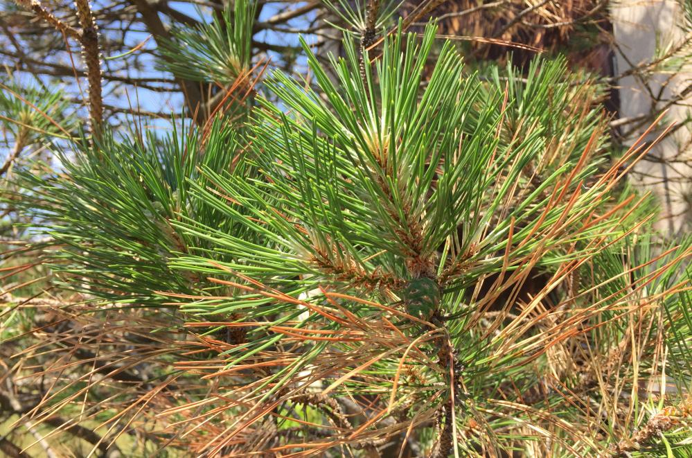 The Austrian pine tree in front of the church has sprouted long, green needles where brown ones were just a few weeks ago.