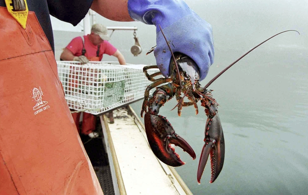 A sternman holds a lobster caught off South Bristol. The U.S. Senate says Sept. 25 should once again be designated as National Lobster Day in honor of New England's most celebrated crustacean.