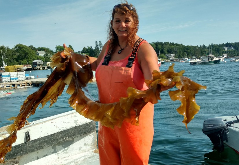 Lisa Moore has been harvesting the wild seaweed called digitata from Casco Bay and now plans to go into seaweed farming.