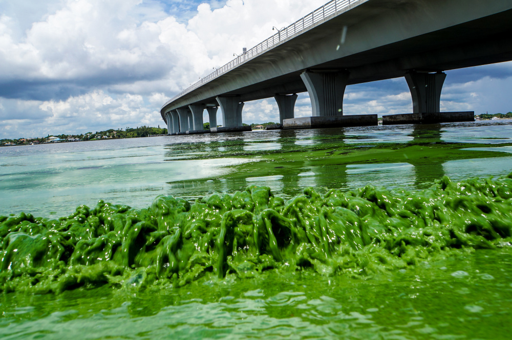 Water full of sludge-like algae laps the shore of the St. Lucie River in Sewell's Point, Fla., in June. What led to the outbreak? Over the years, builders and their government allies broke up nature's water flow in order to open up land for development.