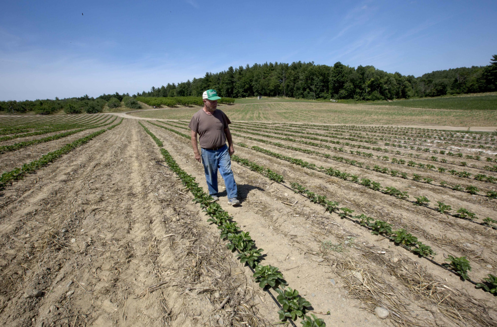 Farmer John Lavoie walks through a parched strawberry patch last week in Hollis, N.H. Parts of the Northeast are in the grips of a drought that has led farmers to ration water. Portland has received 21.2 inches of rain so far this year, well below the average of 25.8 inches.