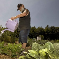 This summer's Northeastern drought has forced Peter Ellermann, above, at the Community Gardens in Concord, N.H., to cart in 30 gallons of water in 5-gallon containers three times a week to keep his plants healthy. Officials in New Hampshire are staying on top of the need to respond to the water shortage, but there's no evidence that Maine is doing the same.