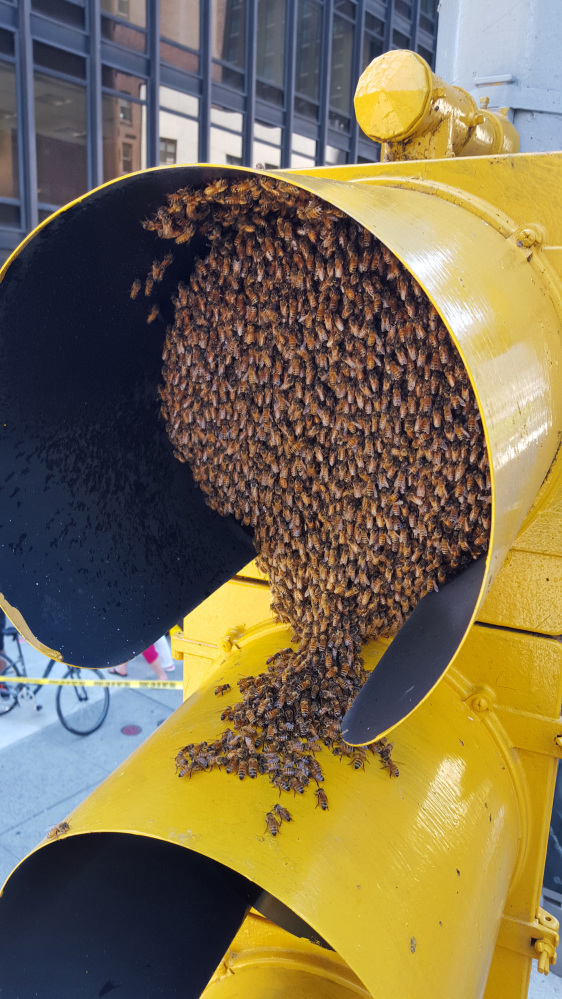 In this Aug. 5, 2015 photo provided by the New York City Police Department, bees envelop a bicycle traffic light in New York's Midtown Manhattan neighborhood. The NYPD has a special team of officers that responds to emergency calls reporting swarms of bees that suddenly cluster in spots around New York City. (NYPD/@nypdbees via AP)