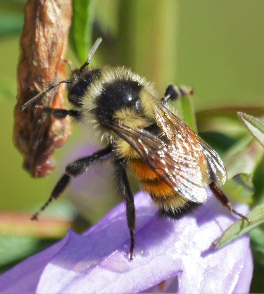 No, it's not a bee in a bonnet; it's a bee on a bellflower, photographed by Brian K. Lovering of North Yarmouth.