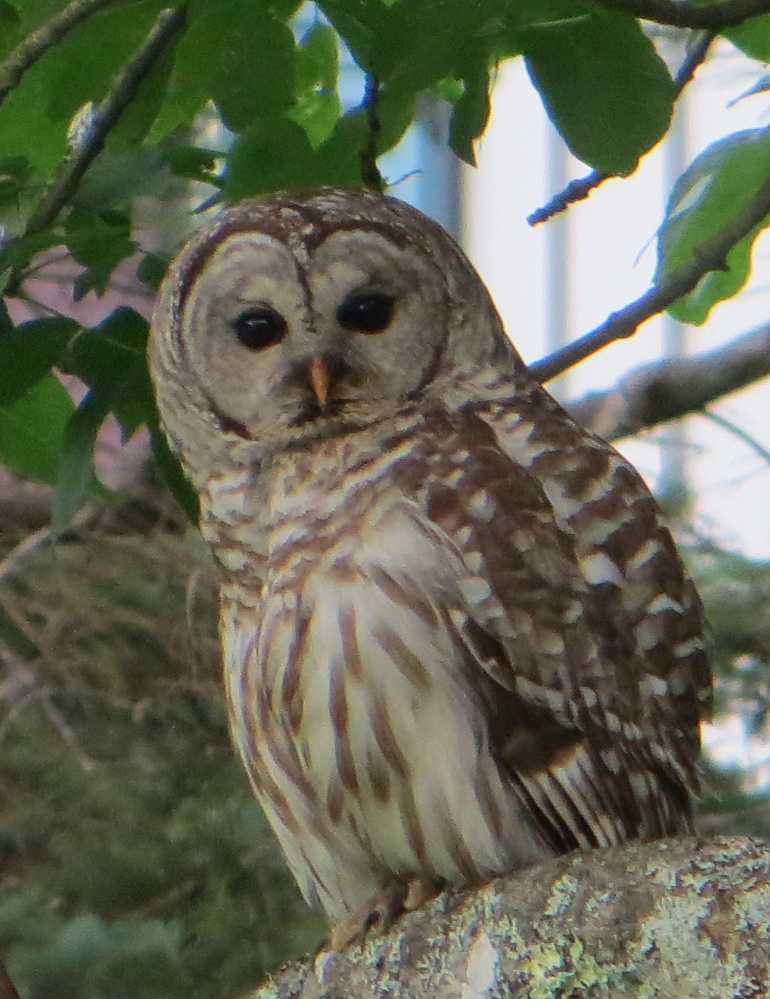 Judy and Jerry Malcolm report that they'd never seen an owl in their 34 years living in Rockport, until this fellow perched itself on their ash tree.