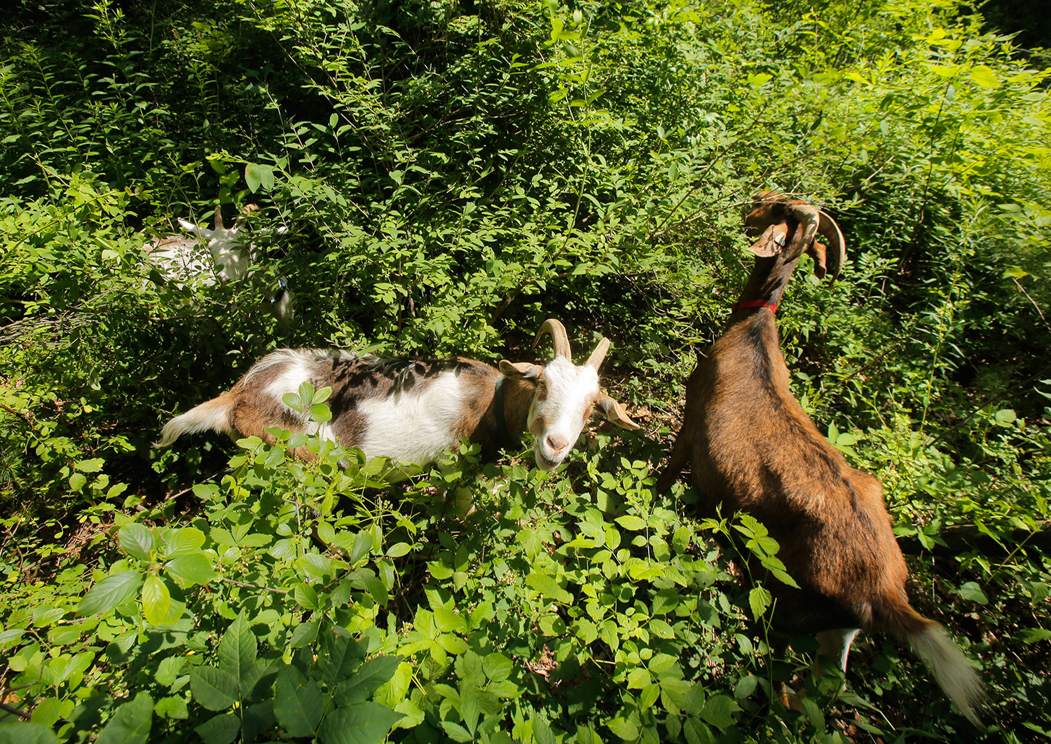 Standing in heavy vegetation, Zephyr, center, and Sawyer, right, eat leaves at a home in Kittery, clearing unwanted vegetation.