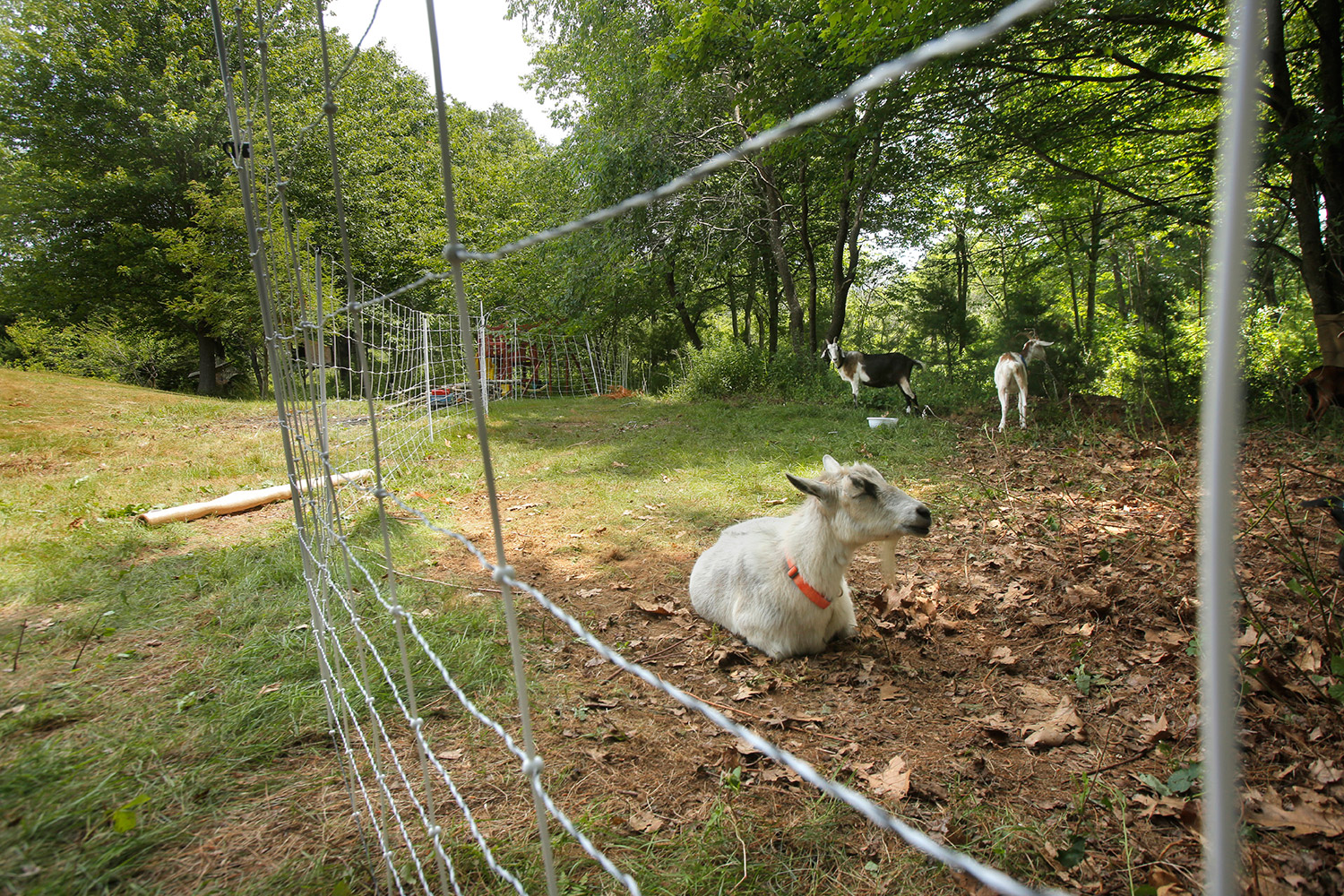 Cleo, a six-year-old goat owned by Heather Lombard, rests in a penned in area at the home in Kittery where Cleo and six other goats were put to work clearing unwanted vegetation last week.