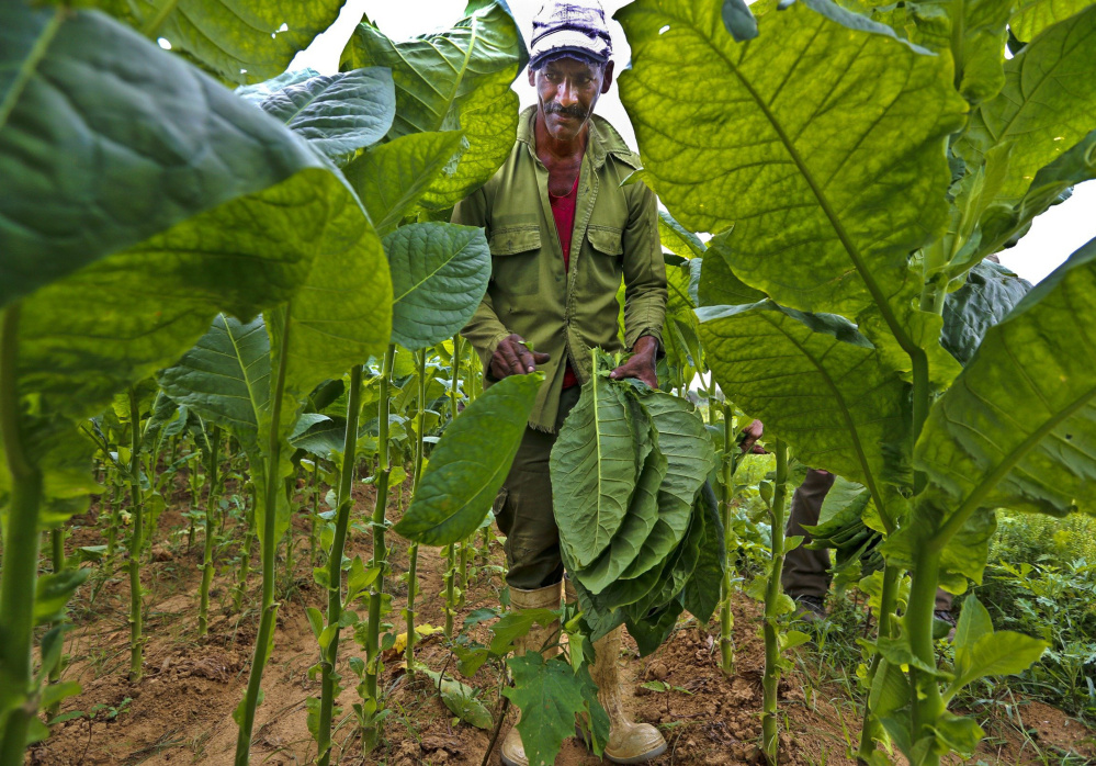 Jesus Gerald Perez picks tobacco leaves at Finca Ramirez, a tobacco farm in Puerta del Golpe, Cuba. Despite Cuban tobacco's fame, it isn't a big contributor to the country's bottom line because production is still limited.