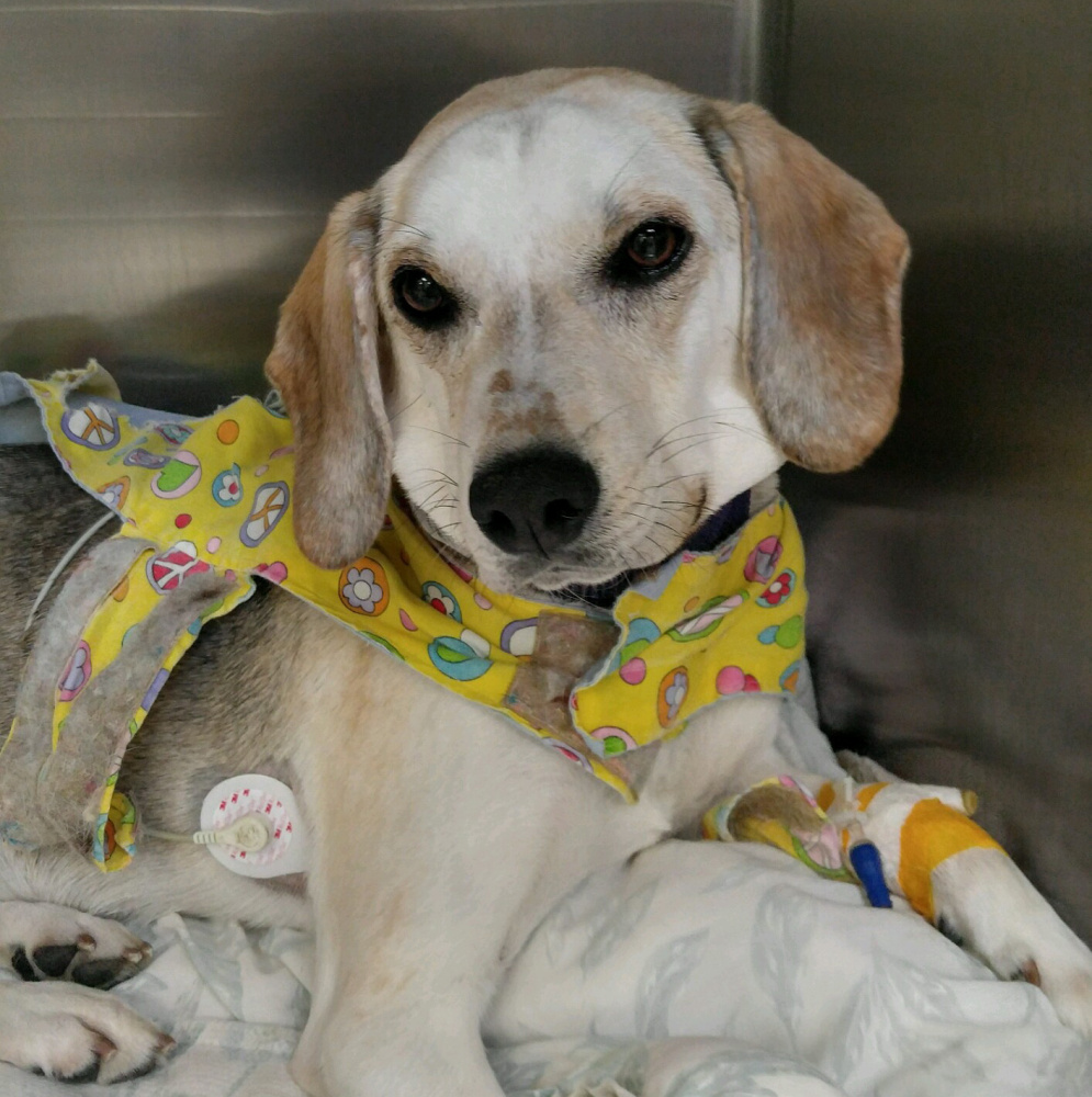 Addie rests after surgery Wednesday. Her foster owner, Samantha Fields, said they'll try again in two weeks.
