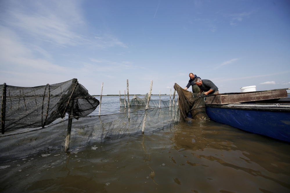 Fisherman Ivan Bagnolo, right, and an assistant fish for crabs at a lagoon in Venice, Italy, this spring. Marine biologist Marissa McMahan, who comes from a lobstering family in Georgetown, applied for and got a $3,000 Maine Sea Grant to study the potential for a similar moleche fishery in Maine. She and others in the state are collecting data now.