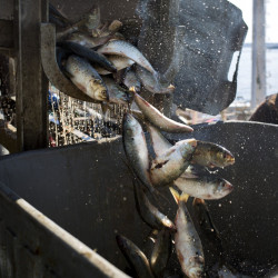 The most popular lobster bait after herring, pogies are at a sustainable biomass, regulators have ruled.