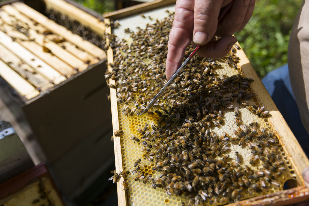 Bachelder inspects his hives.