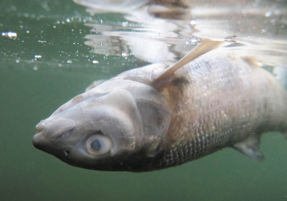 Wildlife officials believe the number of mountain whitefish killed is in the tens of thousands.