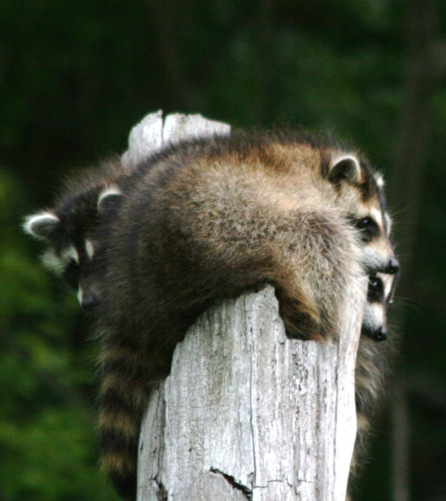 It's not lonely at the top for this trio of raccoons that John Campbell of Freeport observed.