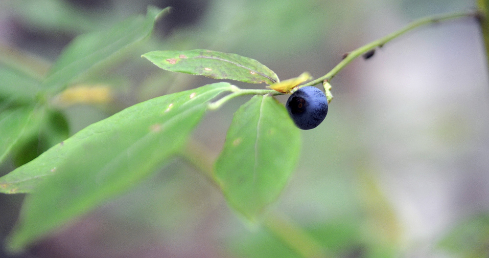 A blueberry grows recently atop Mount Pisgah in Winthrop.