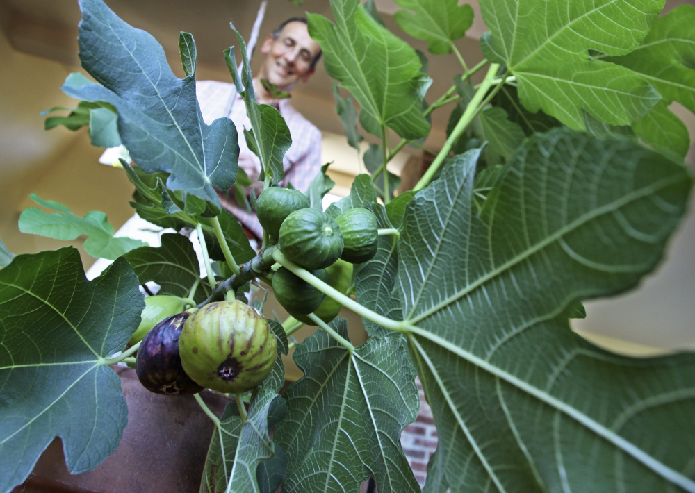 Don Endrizzi, the son of Italian immigrants, produces a small crop of figs at his home in Scarborough.