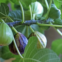SCARBOROUGH, ME - JULY 27: Figs in various stages of ripening at the home of Don Endrizzi. (Photo by Jill Brady/Staff Photographer)