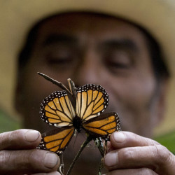 A guide holds up a damaged and dying butterfly at the monarch butterfly reserve in Piedra Herrada, Mexico State, Mexico, last November.