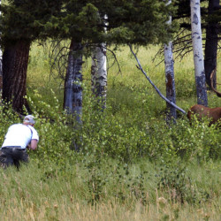 Yellowstone National Park tourist John Gleason moves in on a large bull elk as two of his children and two children of friends follow him. Park officials say visitors getting too close to wildlife can create dangerous situations.