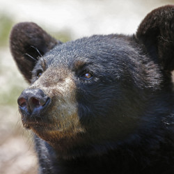 Maine's booming black bear population is estimated at 36,000, and the state hopes hunters take about 4,000 of the animals.