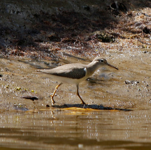 A plover makes its way along the muddy bank of the Merriland River in Wells near the Wells National Estuarine Research Reserve .
