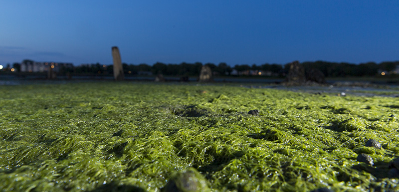Algae blooms, like these in Mill Creek, are spreading throughout Casco Bay and its tributaries.