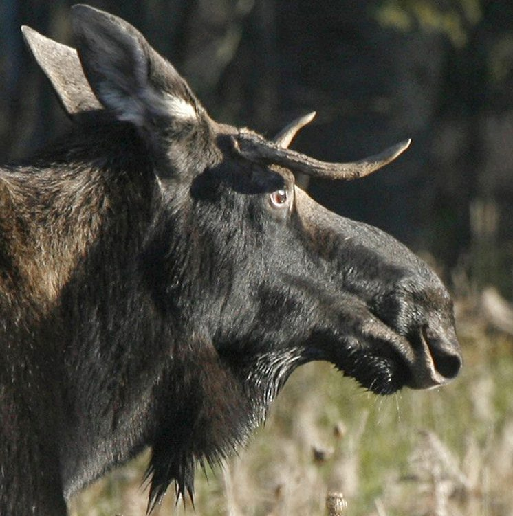 Vermont's moose herd is currently estimated at about 2,200, below the goal of about 3,000.
