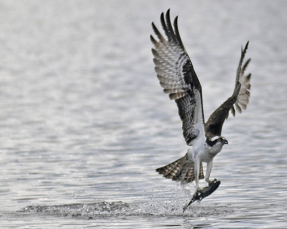 Eagles are bigger and stronger, but ospreys, like the one pictured here, are more agile fliers and better at catching fish. The species often compete for the same territory.